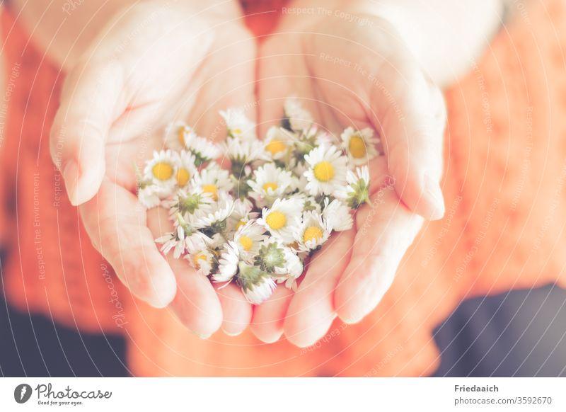 Hände mit Gänseblümchen zauberhaft Blümchen samtig sanft schenken gratulieren Liebe zart unscharf Freundschaft freundlich zuwendung geste