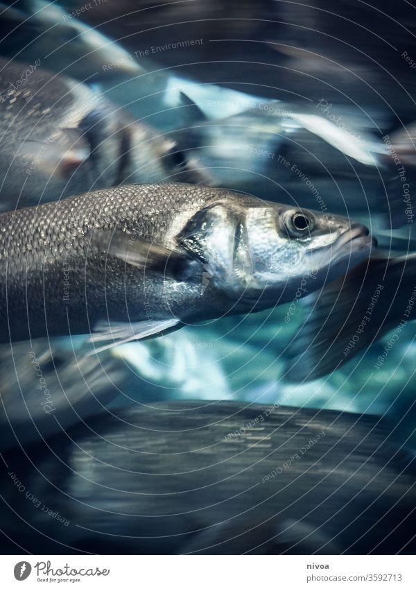Fische Schwimmen & Baden Reflexion & Spiegelung Unterwasseraufnahme Schwarm blau Meer Aquarium Wasser Tier Zoo Tiergruppe Fischschwarm Sinkflug Menschenleer
