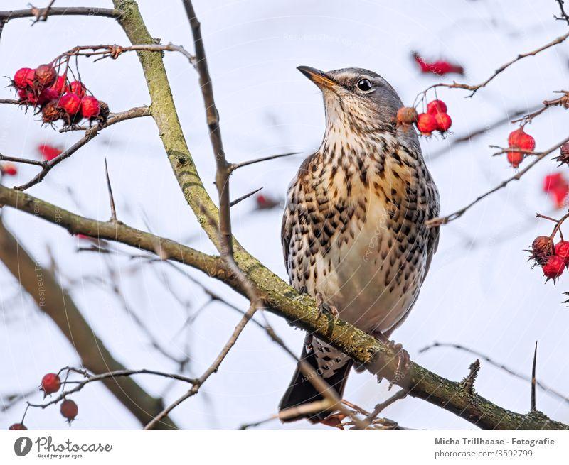 Wacholderdrossel im Baum Drossel Vogel Tiergesicht Auge Schnabel Gefieder Federn Flügel Turdus pilaris Kopf Wildtier Tierporträt Ganzkörperaufnahme