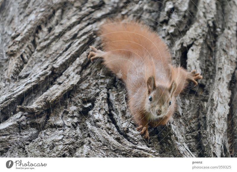 Baumschmuck Umwelt Natur Tier Wildtier 1 Tierjunges niedlich braun grau Eichhörnchen Baumrinde Klettern Blick Farbfoto Außenaufnahme Menschenleer