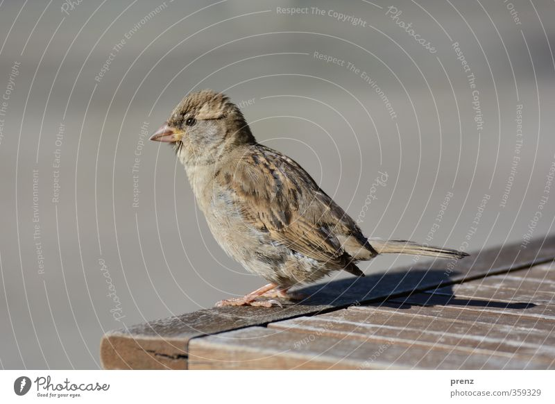 In der Sonne sitzen Umwelt Natur Tier Schönes Wetter Wildtier Vogel 1 braun grau Spatz stehen Farbfoto Außenaufnahme Nahaufnahme Menschenleer