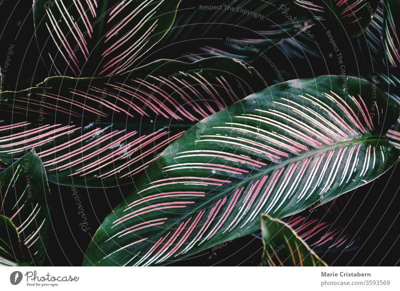 Violette Calathea-Blätter (Pfauenpflanze) vor dunklem Hintergrund violette Kalathea Pfauen-Pflanze tropische Blätter voller Rahmen Textur tropisches Blattmuster
