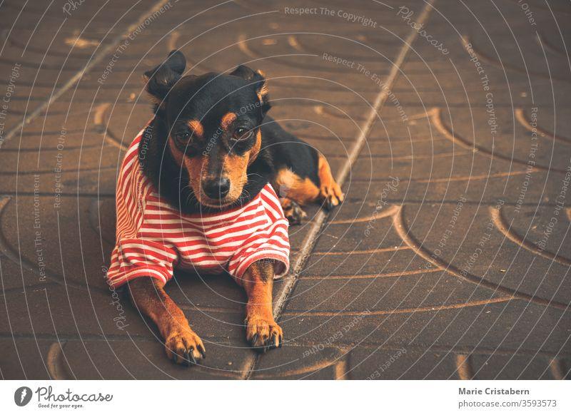 Süßer Dackel, der ein rot gestreiftes Hemdchen trägt, um Wege der häuslichen Quarantäne und der sozialen Distanzierung durch die Pflege von Haustieren aufzuzeigen