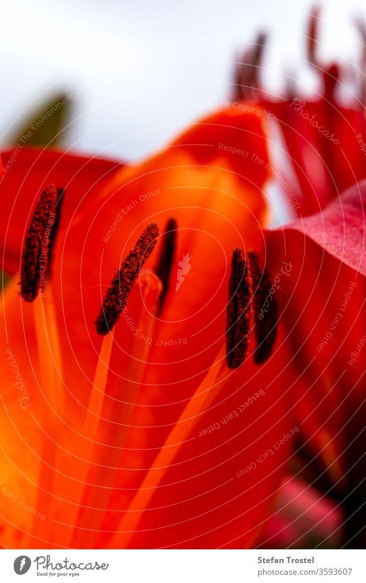 Sammlung von Pollen auf einer Lilie in Nahaufnahme Lilien Frühling natürlich Farbe flora botany-lilium_bulbiferum Natur blühende Blume_orange_Lilie Blatt