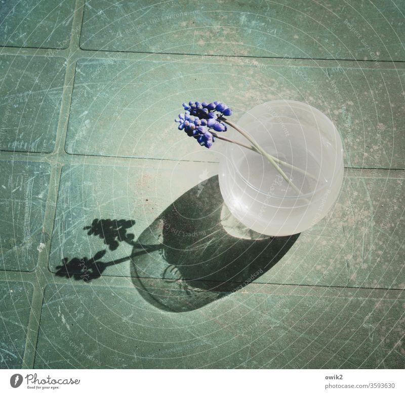 Im Trost vereint Traubenhyazinthe Blume Sommer Pflanze Natur Vase Romantik Einigkeit Gefühle Kunststoff Glas Tisch ruhig Farbfoto Gedeckte Farben Außenaufnahme
