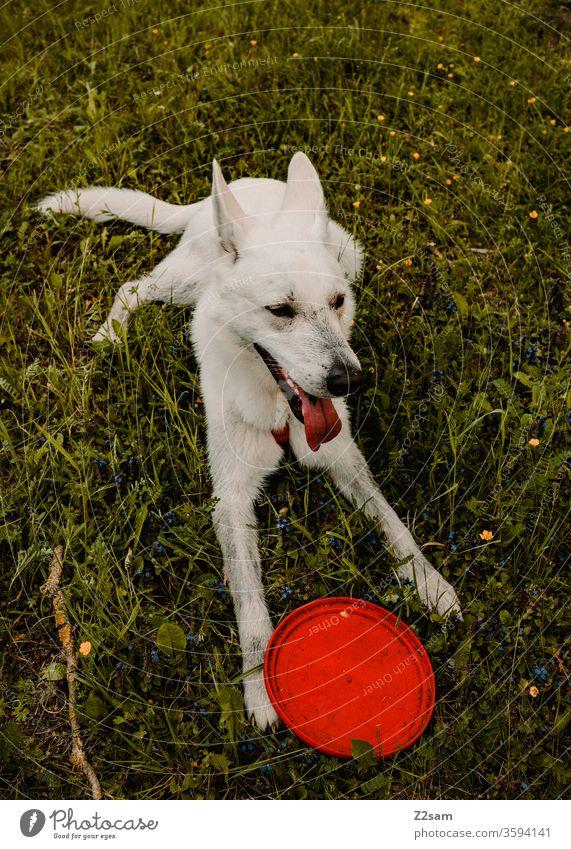 Weißer Schäferhund spielt mit Frisbee gassi gehen frisbee spielen weißer schäferhund verspielt sitzen platz brav warten ausruhen wiese grün natur draußen
