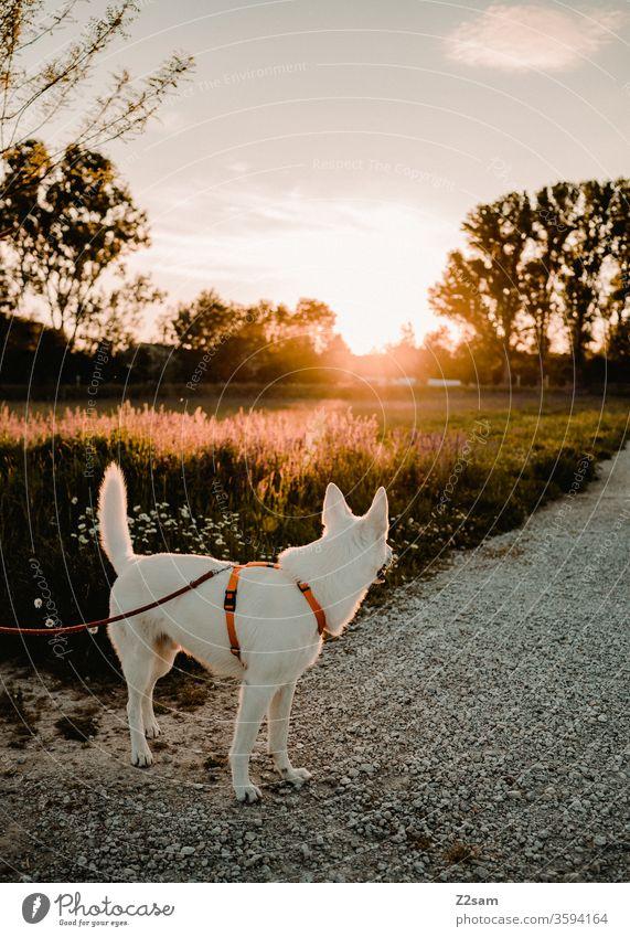 weißer Schäferhund schaut in Richtung Sonnenuntergang gassi gehen abend sonne sonnenuntergang spazieren sonnenschein wärme sommer natur landschaft spaziergang