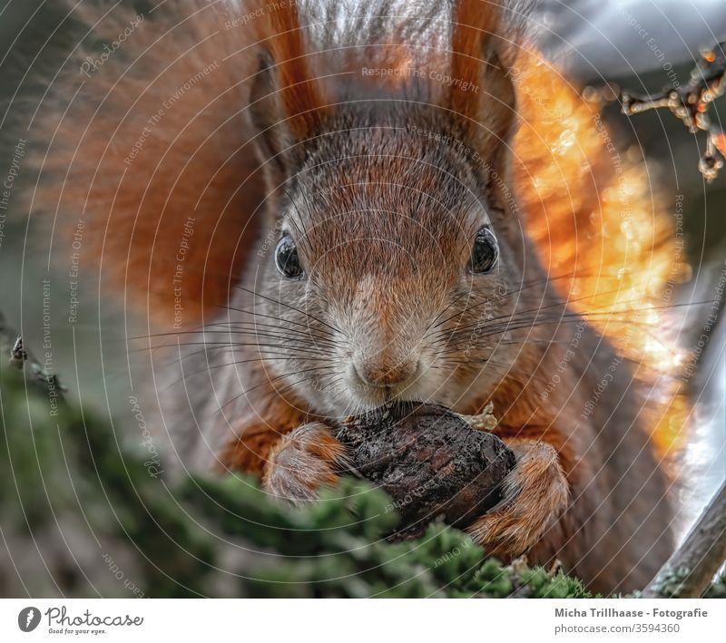 Eichhörnchen mit Walnuss in den Pfoten Sciurus vulgaris Tiergesicht Kopf Auge Nase Ohr Krallen Fell Wildtier Fressen festhalten nah niedlich Baum Sonnenlicht