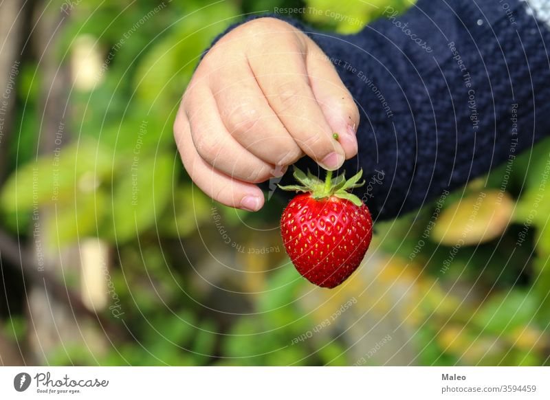 Eine Kinderhand hält eine große Erdbeere Erdbeeren Beeren Frucht grün Hand rot reif geschmackvoll Ackerbau Lebensmittel saftig Nahaufnahme Bauernhof frisch