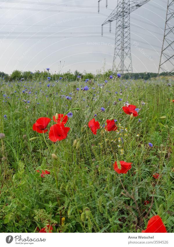 Eine Wiese mit Mohnblumen, Flockenblumen und Kamille Wiesenblume Mohnblüte Pflanze Sommer Außenaufnahme Blüte Blume Mohnfeld Feld mehrfarbig Landschaft Natur