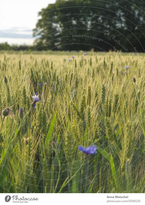 Ein Kornfeld mit Flockenblumen beim Sonnenuntergang Feld Getreide Landwirtschaft Sommer Ähren Natur Getreidefeld Pflanze Landschaft Ackerbau Ernährung Gerste