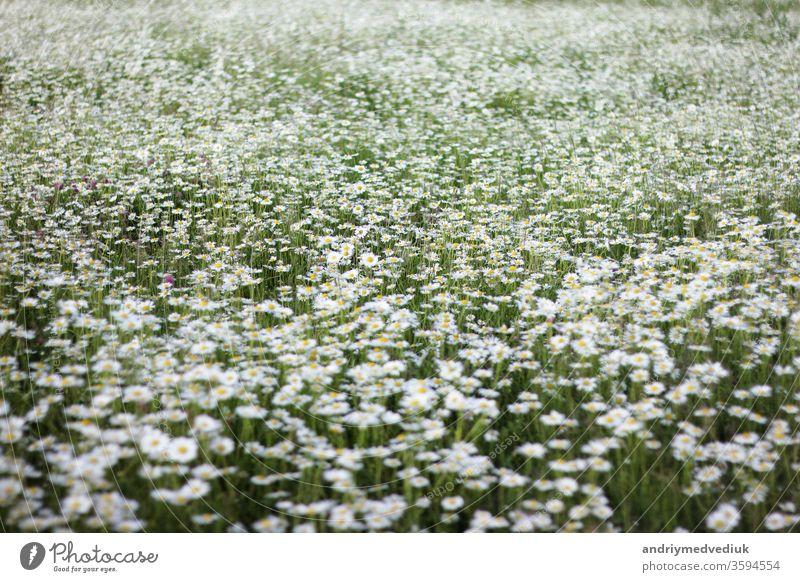 ein großes Feld mit Gänseblümchen. Hintergrund mit weißen Blüten Blume Frühling geblümt Blütezeit Garten Natur natürlich Wachstum Sommer Sonnenlicht im Freien