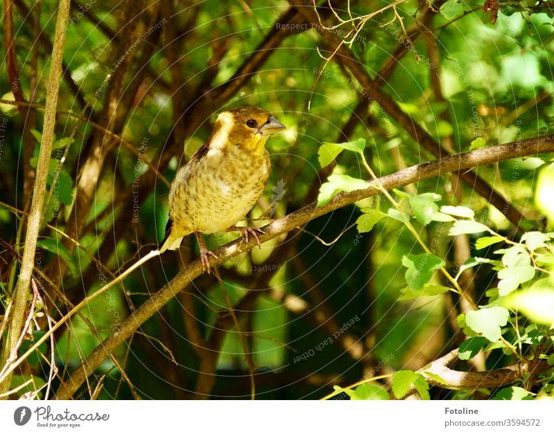 Eine kleine Girlitze sitzt auf einem Zweig im Grünen Vogel Tier Natur Farbfoto Außenaufnahme 1 Wildtier Tag Menschenleer Umwelt Schwache Tiefenschärfe