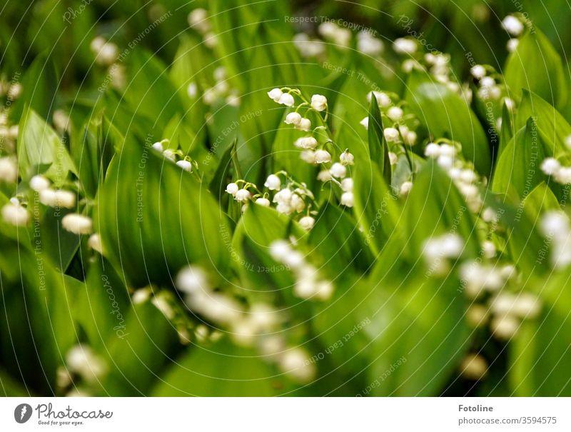 Viele Maiglöckchen stehen wie bei einer Demo ohne den gebotenen Mindestabstand Maiglöckchenblätter Blume Farbfoto weiß Frühling Pflanze grün Natur Blüte Blühend