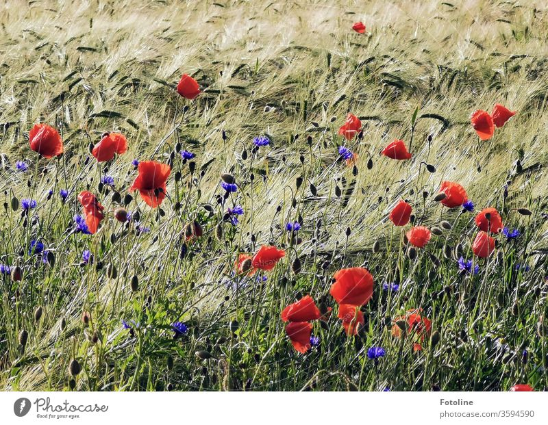 Mohnblumen und Kornblumen wiegen sich in harmonischem Reigen mit einem Gerstenfeld im Wind Kornfeld Ähren Feld Landwirtschaft Getreide Natur Sommer Getreidefeld