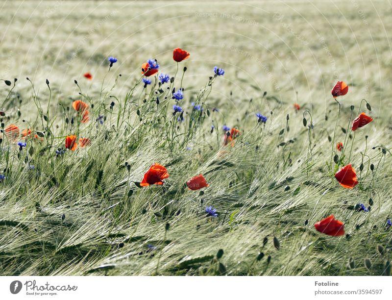 Mohnblumen und Kornblumen erfreuen ein Gerstenfeld mit bunten Farbklexen Kornfeld Ähren Feld Landwirtschaft Getreide Natur Sommer Getreidefeld Nutzpflanze