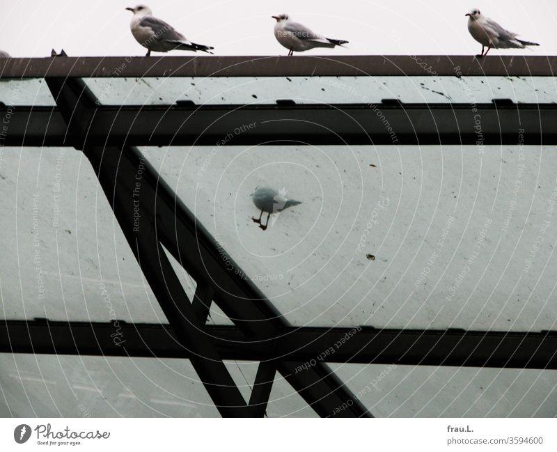Sie muckschte, die kleine Möve, weil die anderen wieder die besten Plätze auf dem Glasdach gekapert hatten. Vögel Möven Dach Möwen Himmel Hafen