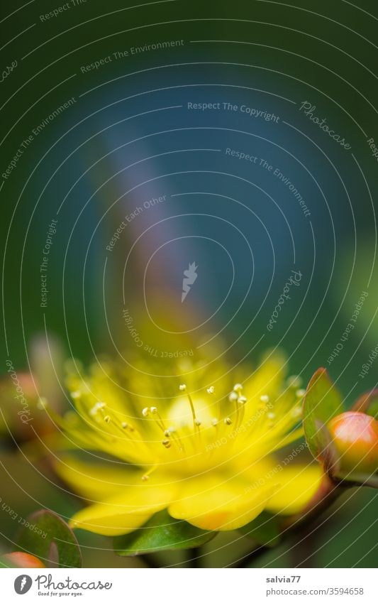 Johanniskrautblüte Blüte Natur Blume Pflanze Makroaufnahme gelb zart Schwache Tiefenschärfe Unschärfe Blühend Nahaufnahme Sommer Duft Hypericum