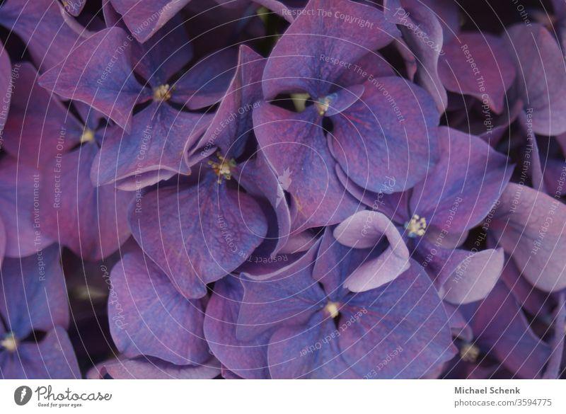 eine violette Gartenhortensie in voller Blüte Natur Blumen Pflanze purpur Hortensie aufgeblüht Farbfoto Makroaufnahme schön