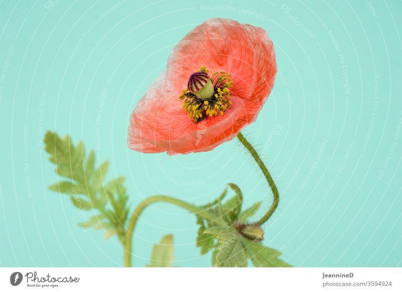 Mohnblume Mohnblüte Innenaufnahme Studioaufnahme Blüte Pflanze Blühend rot Schwache Tiefenschärfe türkis Sommer Stillleben Menschenleer Nahaufnahme