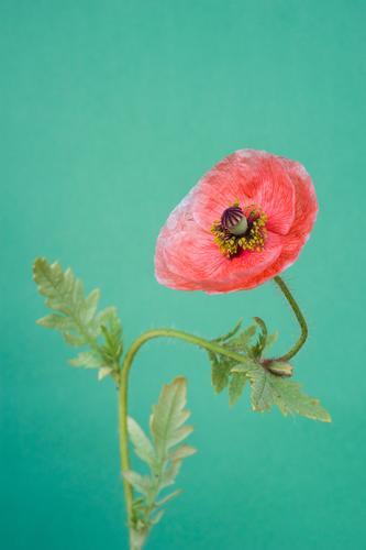 Mohnblume mit neutralem Hintergrund Mohnblüte Innenaufnahme Studioaufnahme Blüte Pflanze Blühend rot Schwache Tiefenschärfe Sommer Stillleben Menschenleer