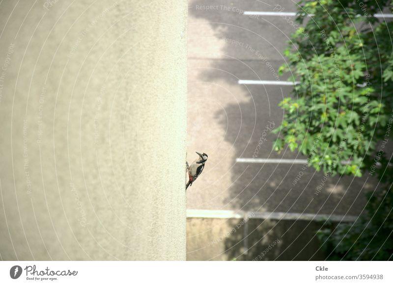 Specht bearbeitet Hausdämmung Dämmung Fassade Wärmedämmung Energiesparen Futter Futtersuche Vogel Großstadt Schnabel Parplatz Tier Natur Außenaufnahme Farbfoto