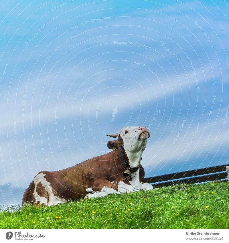 AST 6 Inntal / Q Umwelt Natur Landschaft Himmel Frühling Schönes Wetter Gras Wiese Alpen Berge u. Gebirge Gipfel Tier Haustier Nutztier Kuh 1 genießen liegen