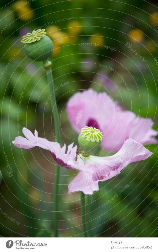 Schlafmohn in einem Garten am Ende der Blühphase. Mohnkapseln, Mohnblüte Blüte Samenkapseln verblühen Nahaufnahme Opium Blume Rauschmittel Blühend