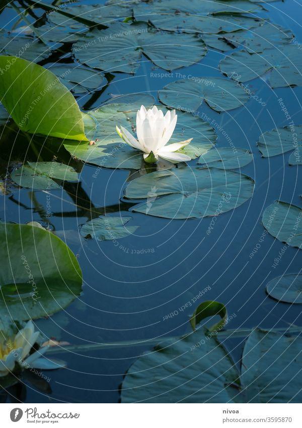 Seerose Teich Wasser Licht Blume Glanzlicht Außenaufnahme Sommer Reflexion & Spiegelung Seerosen Pflanze Blüte Natur Seerosenblatt dunkel Farbfoto schön Blühend