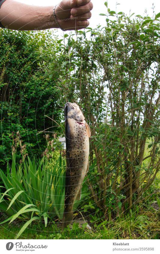 Bachforelle am Angelhacken mit Schnur gehalten von Männerhand Bachforelle, Fisch Angeln Wasser Freizeit & Hobby Fischer Angler Ernährung Lebensmittel fangen