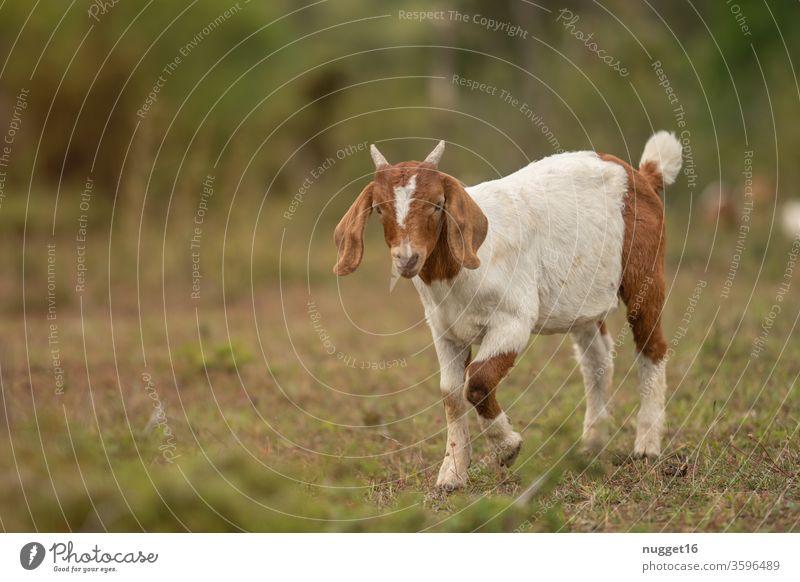 junge Ziege ziege ziegen Tier Außenaufnahme Farbfoto Nutztier Tag 1 Tierporträt Menschenleer Natur Haustier Wiese Landschaft Idylle Weide Blick stehen
