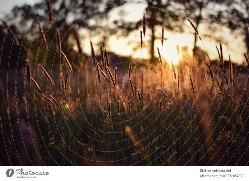 Gräser bei Sonnenuntergang Gräserblüte Sonnenlicht Gegenlicht Wiese Natur Außenaufnahme Menschenleer Pflanze Sommer Licht Feld goldenes Licht Wildwuchs Gras