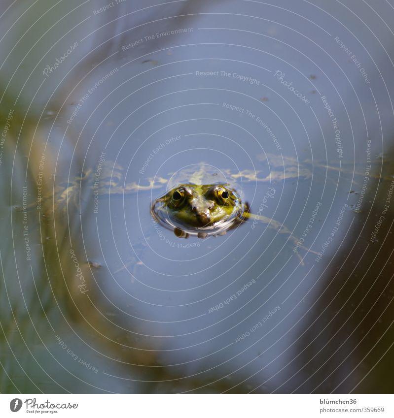 Perfekte Bein-Haltung grün ruhig Tier Auge klein Schwimmen & Baden See natürlich wild Wildtier warten nass niedlich Nase beobachten Neugier