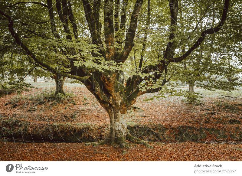 Großer Baum mit großen Ästen in der Nähe eines Baches im Park Kofferraum Ast Laubwerk strömen Waldgebiet Harmonie idyllisch Natur Herbst Landschaft unberührt