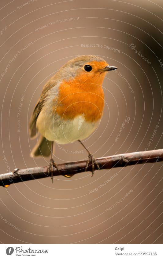 Hübscher Vogel mit einem schönen orange-roten Gefieder. Tierwelt Natur Rotkehlchen männlich wild allgemein natürlich gehockt Hintergrund klein Passerine