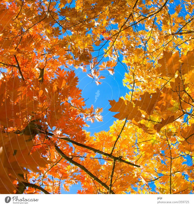 mitten im herbst Umwelt Natur Pflanze Herbst Schönes Wetter Baum Blatt Ast blau braun gelb gold rot Jahreszeiten Herbstfärbung oben hoch Loch Rahmen herbstlich