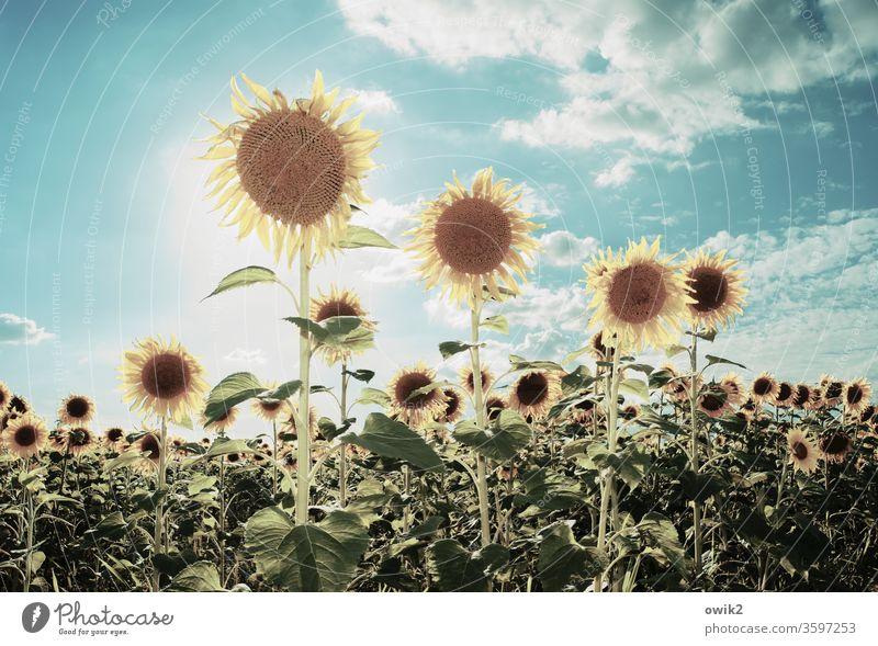 Sonnige Typen Sonenblume Sonnenschein leuchten strahlen draußen Außenaufnahme Himmel Nahaufnahme Blume Blüte Sonnenblume Farbfoto Menschenleer Pflanze gelb