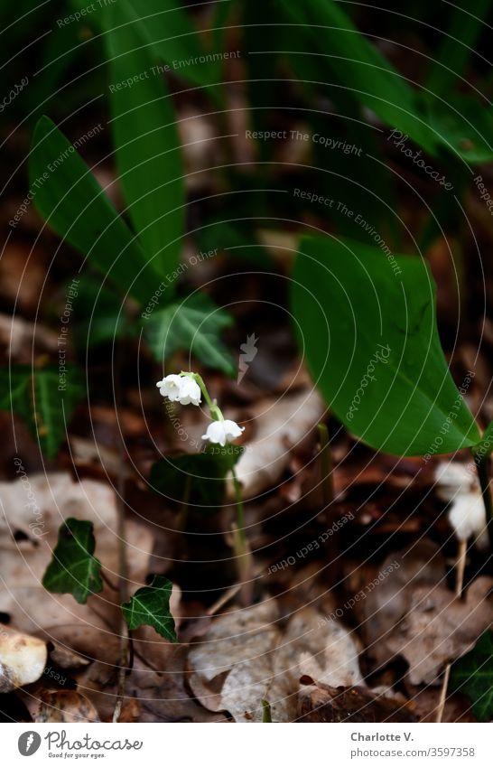 Maiglöckchen | mit Blattwerk Blume Pflanze Wildpflanze Wildblume Blätter abgestorbene Blätter Natur Waldboden Frühling Frühlingsblume Farbfoto Gedeckte Farben