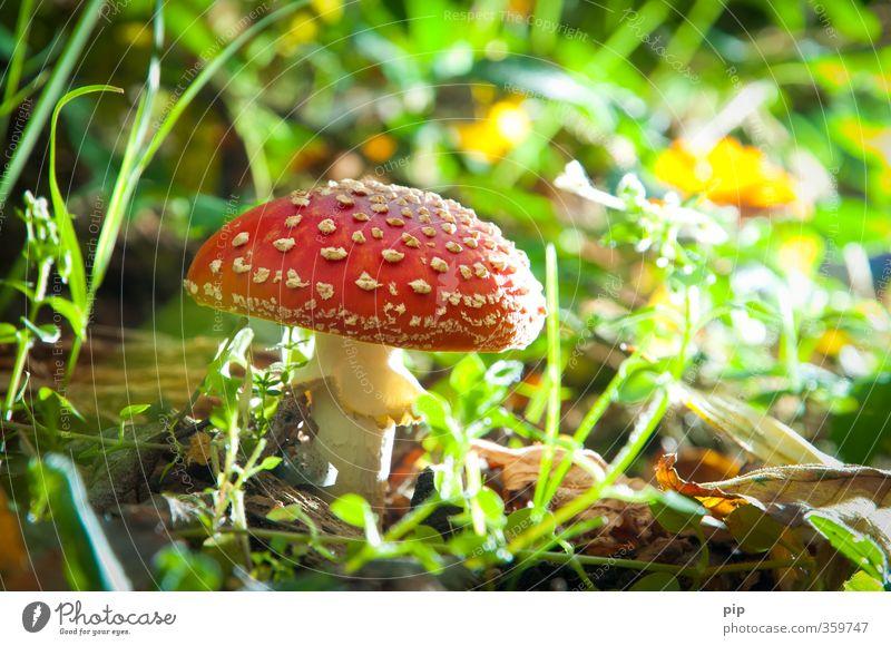 flymushroom Natur grün Pflanze rot Wald Umwelt Gras Schönes Wetter gefährlich Pilz Gift Unterholz Fliegenpilz