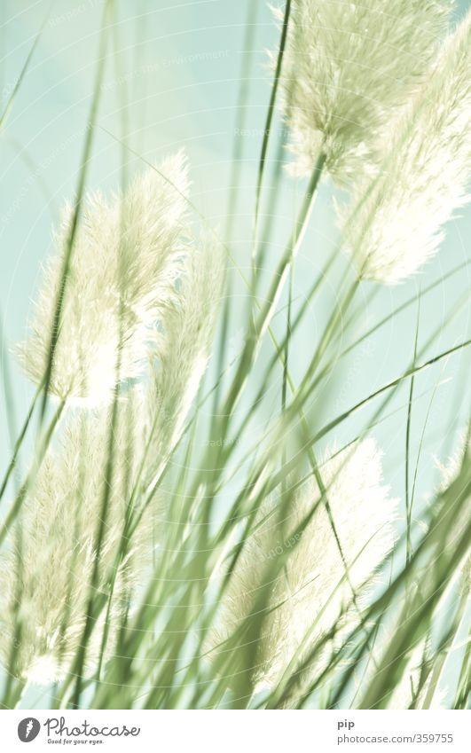 durch die pampa Natur Pflanze Sommer Schönes Wetter Gras exotisch Pampasgras Halm Blüte Rispenblüte Garten Park blau grün buschig weich zartes Grün hoch