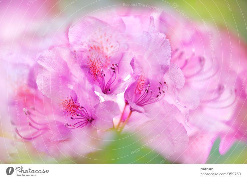 ein Hauch von Rosa Natur Frühling Sommer Pflanze Blume Blüte Gartenpflanzen Rhododendron Blühend elegant fantastisch schön rosa Frühlingsgefühle zart