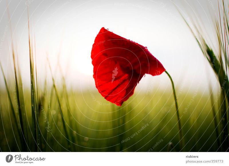 red passion iii Natur grün schön Sommer Pflanze rot Landschaft ruhig Umwelt natürlich Regen Feld Kraft wild Idylle glänzend