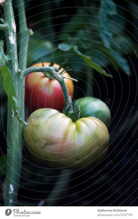 Grüne, gelbe und rote Erbstücktomaten reifen in einem sommerlichen Gemüsegarten an der Rebe. Tomate Tomaten Frucht Veggie produzieren Lebensmittel Garten