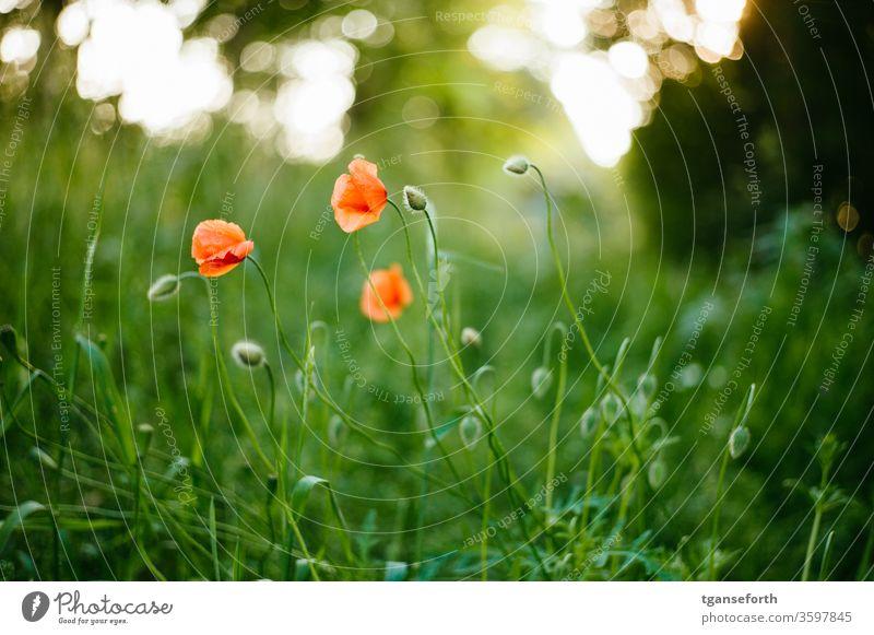 Mohnblumen Mohnblüte mohnblumen Klatschmohn Blume Sommer rot Wiese Pflanze Farbfoto Menschenleer roter mohn Außenaufnahme Idylle Feld Schwache Tiefenschärfe