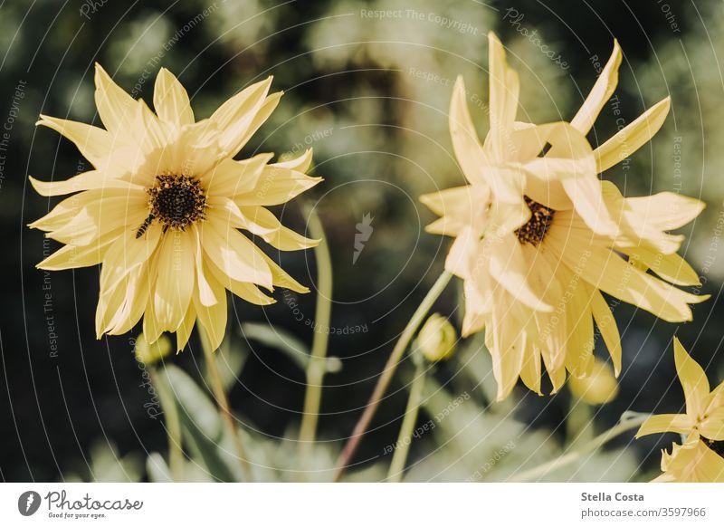 Bild einer gelben Dahlie mit Insekt Dahlien Pflanze blüte Natur Nektar Blüte Blume Sommer Tier Biene Nahaufnahme Makroaufnahme Frühling Garten Menschenleer