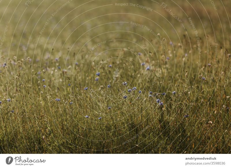 Blaue Blumen Kornblumen. Sommer. Feld mit Blumen blau geblümt Blütenblatt Blütezeit frisch Natur Saison Pflanze Hintergrund schön Schönheit hell Flora Garten
