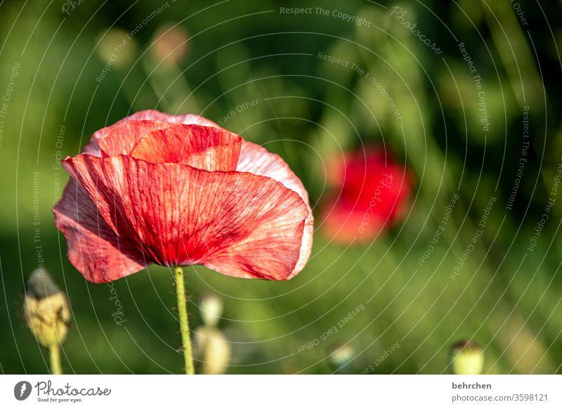 mo(h)ntagslust Mohnblume Abend Landschaft Mohnblüte mohnblumen Blume Blüte blühen duftend Duft Sommer Frühling Gegenlicht Sonnenuntergang Sonnenlicht Feld Wiese