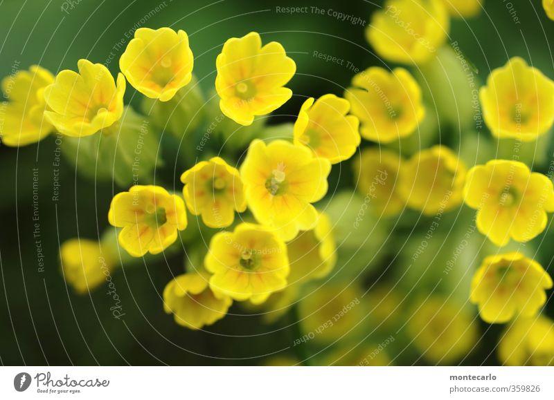 Yellow Power Umwelt Natur Frühling Pflanze Blume Gras Blatt Blüte Grünpflanze Wildpflanze Duft authentisch einfach Freundlichkeit frisch klein natürlich weich
