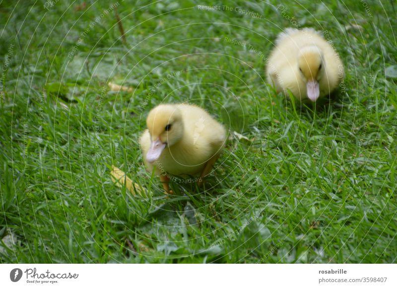 zwei flauschige Entenküken unterwegs im Gras Küken jung gehen laufen Wiese klein frisch geschlüpft Federn Flaum niedlich Babies Babys gelb Rasen Spaziergang