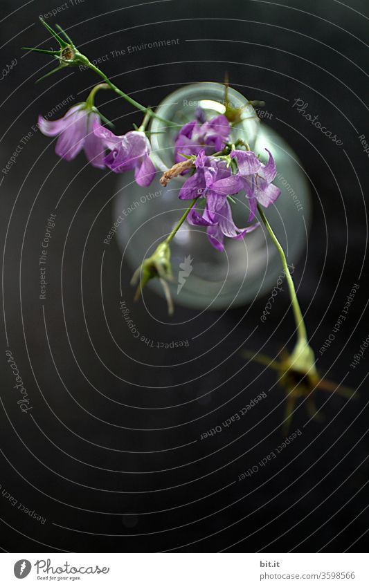 Lila Glockenblume mit hängenden grünen Blütenstielen und verwelkten Blütenknospen, aus der Vogelperspektive, in weisser, durchsichtiger Glasvase auf schwarzem Untergrund. Blumenstrauß der schönen, wilden Campanula von oben, dekorativ auf dunklem Tisch.